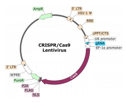 FCGR2A (Human) CRISPR/Cas9 Lentivirus (Non-Integrating)