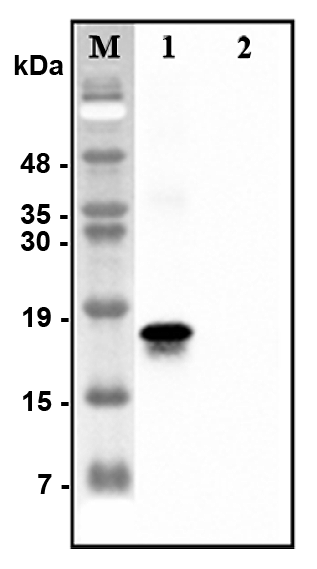 Anti-CTRP7 (human)