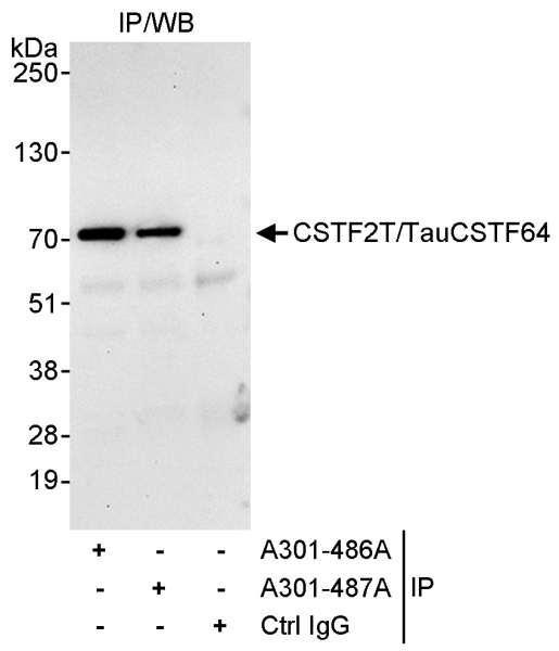 Anti-CSTF2T/TauCSTF64