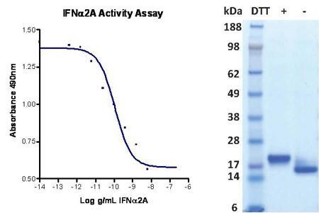 Interferon alpha 2A (IFN alpha 2A), human recombinant (HumaXpress)