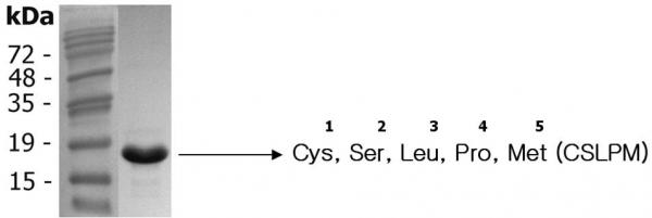 IL-38 (human) (rec.) (His)