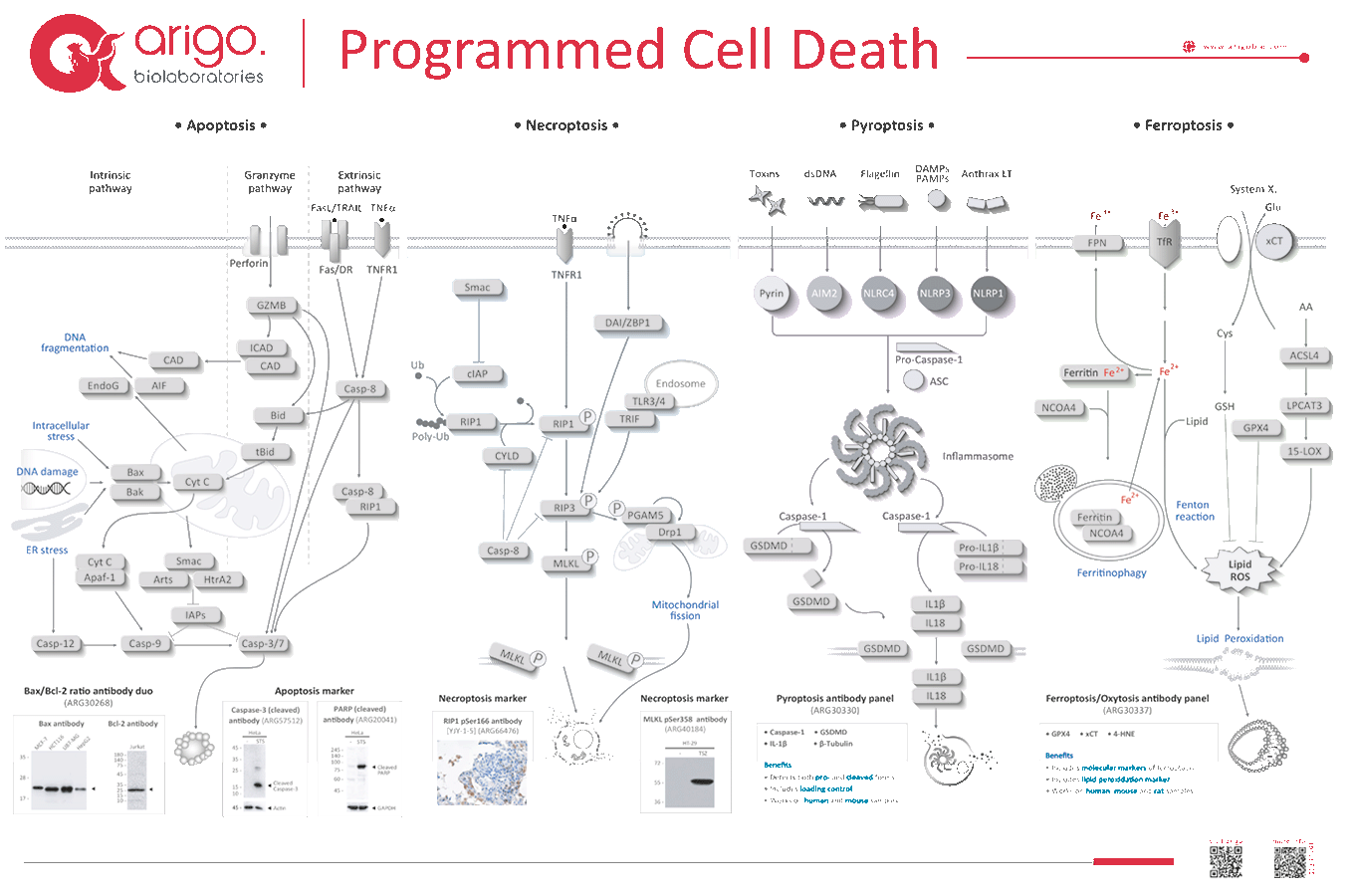 Programmed Cell Death Poster