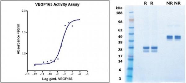 Vascular Endothelial Growth Factor-165 (VEGF165), human recombinant (HumaXpress)
