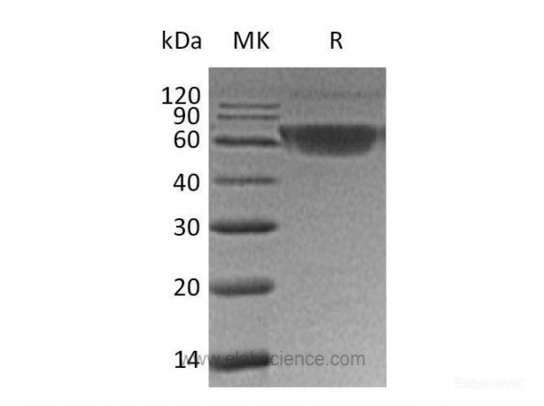 PDCD1/PD-1/CD279 Protein(C-mFc) (recombinant human)
