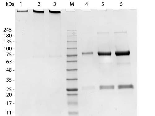 Swine IgM Whole Molecule