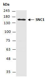 Anti-SNC1 (N)