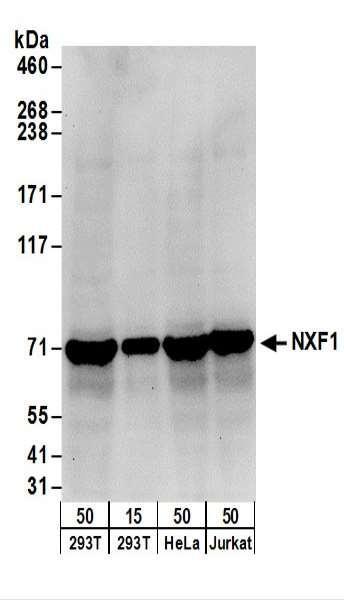 Anti-NXF1
