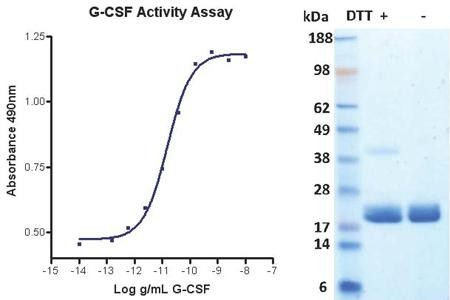 Granulocyte Colony Stimulating Factor (G-CSF), human recombinant (HumaXpress)