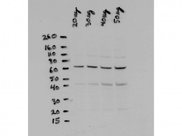 Anti-NFkappaB p65, NT (Nuclear Factor kappa B, Rel A)