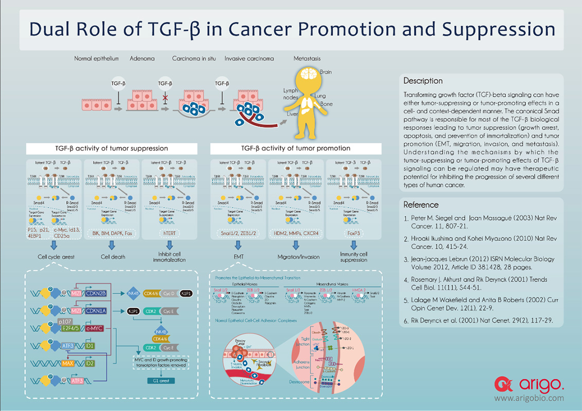 Dual role of TGF beta in cancer promotion and suppression