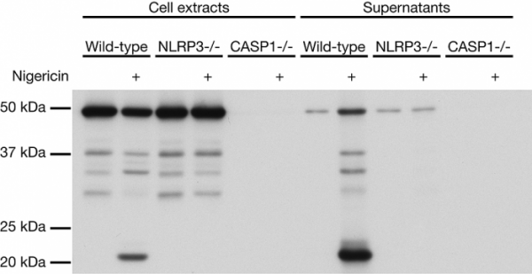 Anti-Caspase-1 (p20) (mouse), clone Casper-1