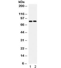 Anti-SLC15A2