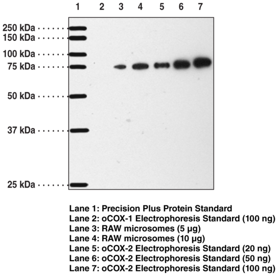Anti-COX-2 (mouse) (aa 570-598)