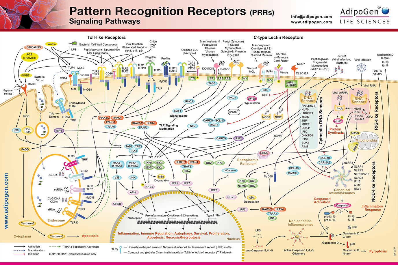 Pattern Recognition Receptors Signaling Wallchart