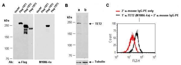 Anti-TET2 (N2)