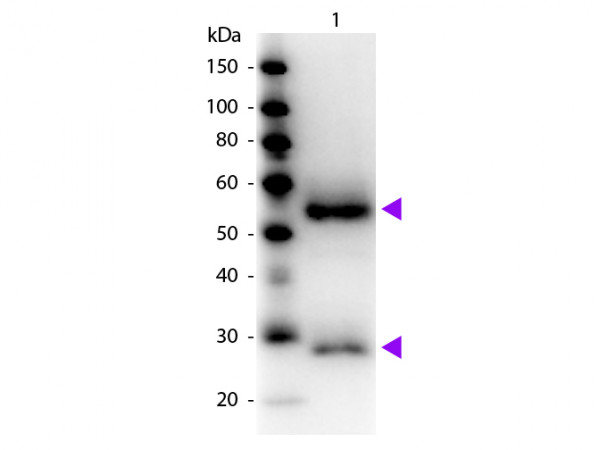 Anti-Mouse IgG (H&L) [Goat] Peroxidase conjugated Fab fragment