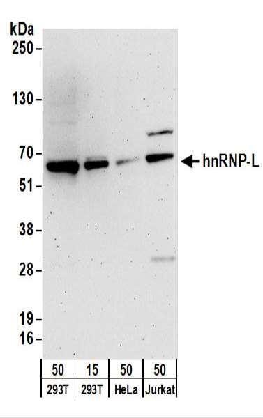 Anti-hnRNP-L