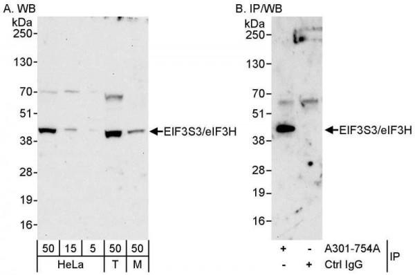 Anti-eIF3H/EIF3S3