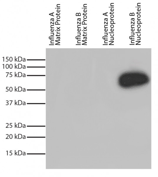 Anti-Influenza B nucleoprotein (HRP), clone 1H7a