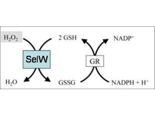 Anti-Selenoprotein W
