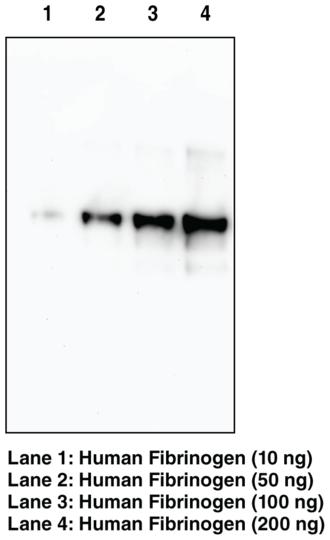 Anti-Fibrinogen (alpha chain) (Clone 6D6)