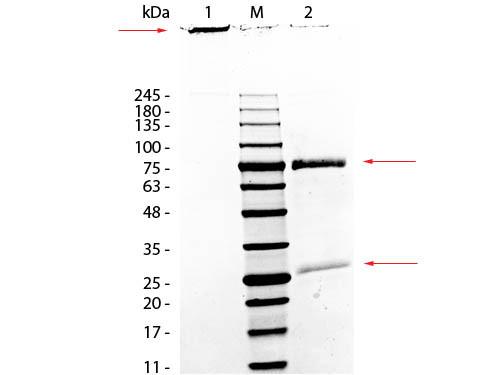 Monkey IgM Whole Molecule