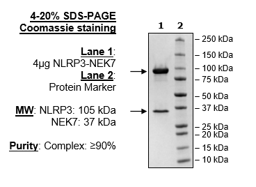 NALP3 (delPYD) / NEK7 Complex