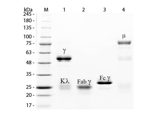 Rabbit IgG Whole Molecule Fluorescein Conjugated