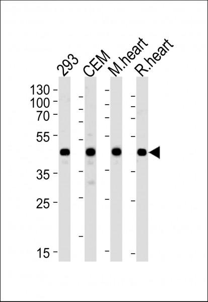 Anti-VEGFC, clone 197CT7.3.4