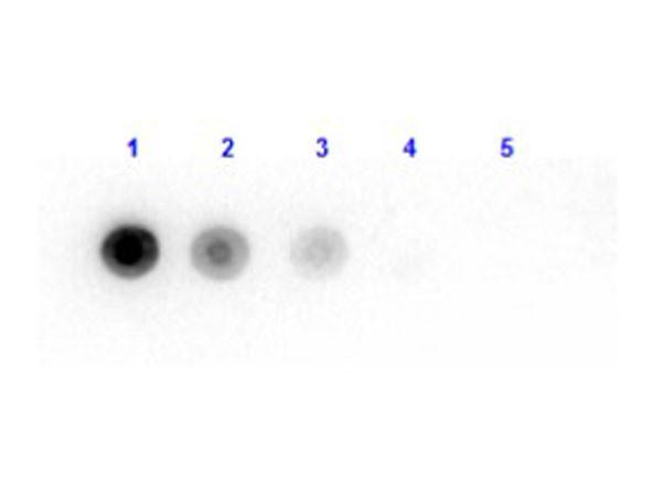 Anti-Luciferase (Photobacterium Fischeri)