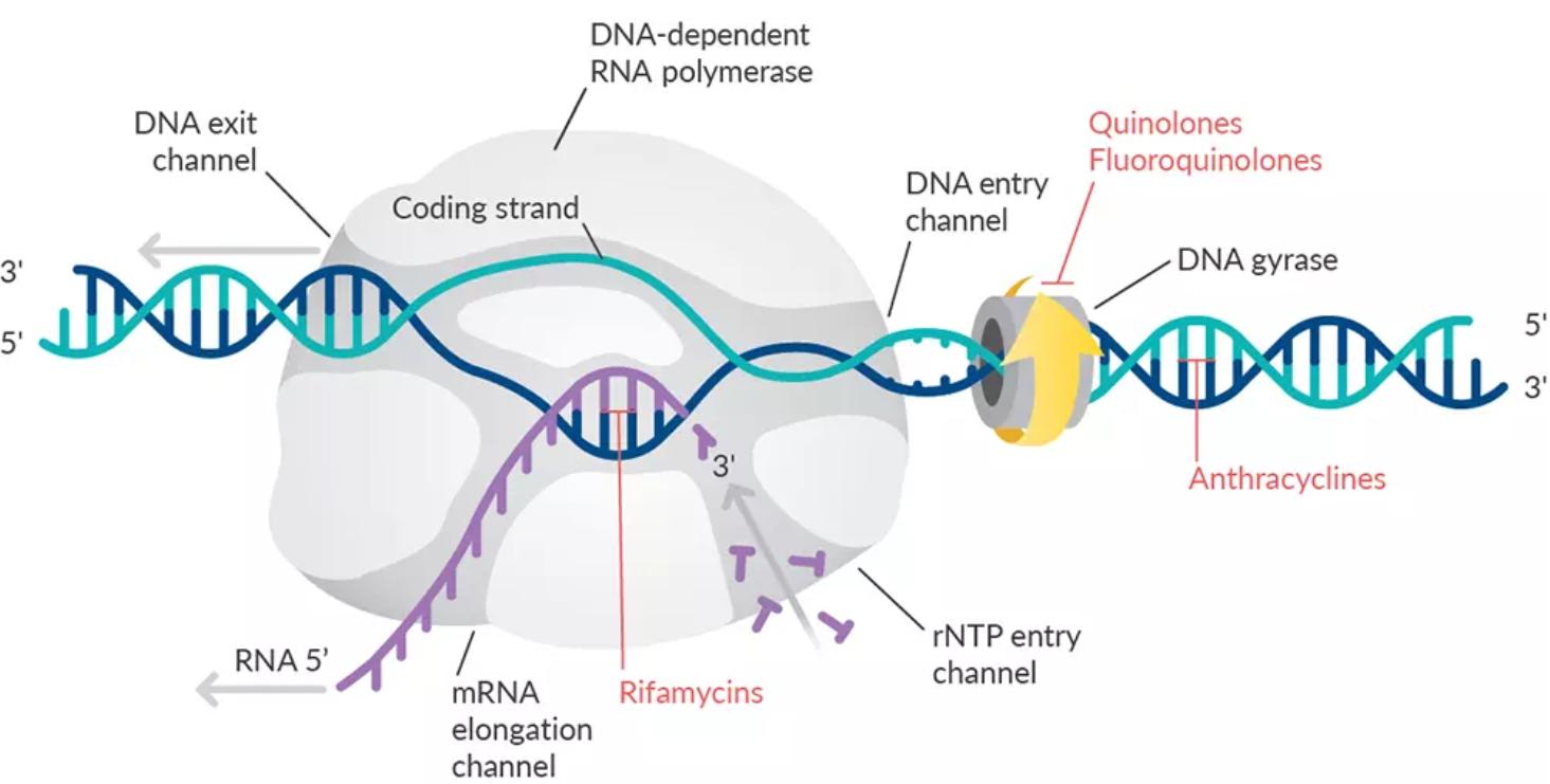 antibiotics-nucleic-acid-sythesis