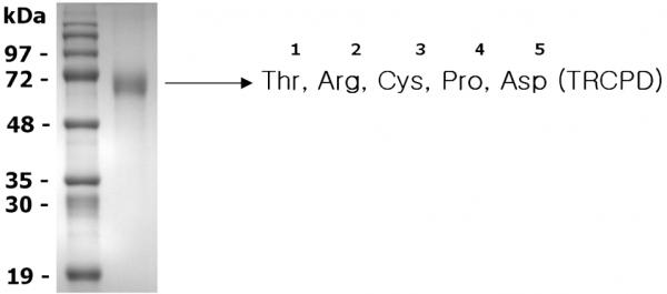 Progranulin (mouse) (rec.) (untagged)