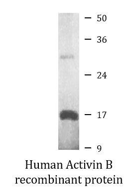 Human Activin B recombinant protein (Active)