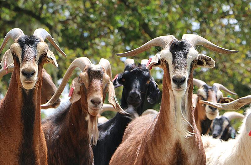 Bethyl-Goats