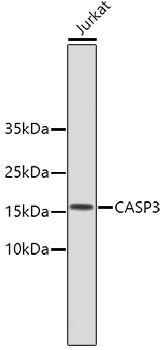 Anti-CASP3
