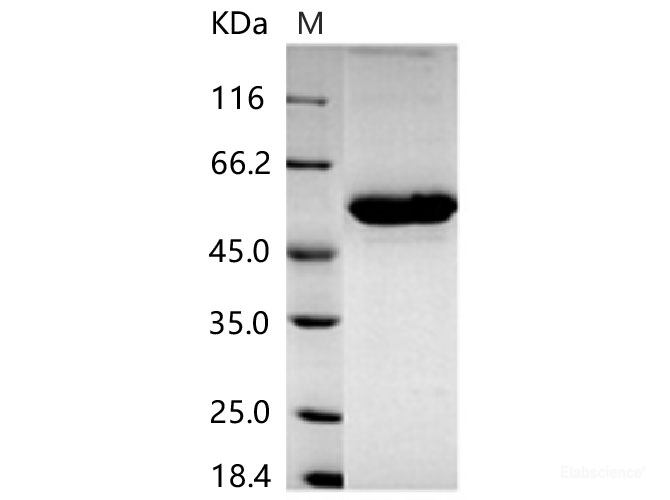 amygdale papillomavírus szájrák haj hpv