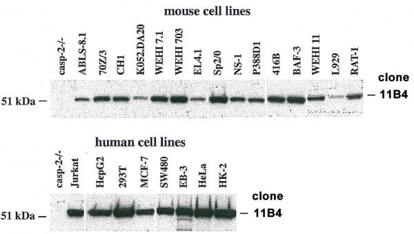 Anti-Caspase-2, clone 11B4