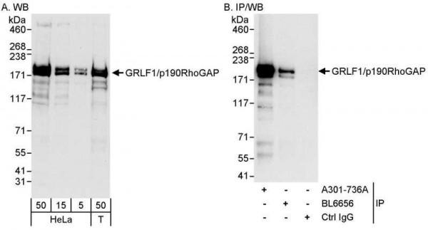 Anti-GRLF1/p190RhoGAP