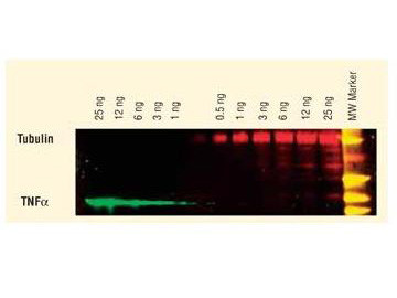 Anti-GFP (Min X Hu Ms and Rt Serum Proteins), DyLight 549 conjugated