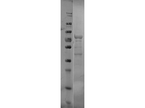 p39 Control Protein