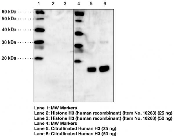Anti-Histone H3 (Citrullinated Arg2 + Arg8 + Arg17)