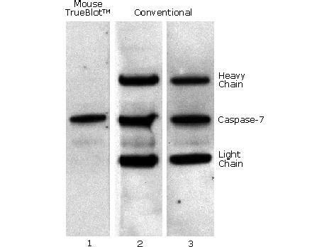 Anti-Mouse IgG HRP conjugated (Mouse TrueBlot® ULTRA), clone eB144