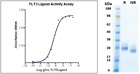 FLT3 Ligand, human recombinant (HumaXpress)