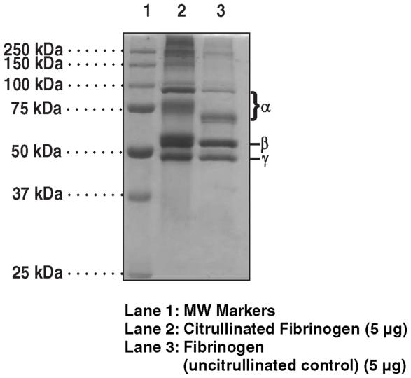 Human Fibrinogen (PAD4 Citrullinated)