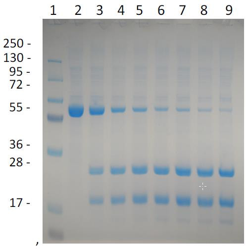 Razor(TM) TVMV Protease