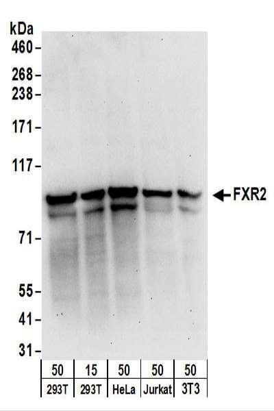 Anti-FXR2