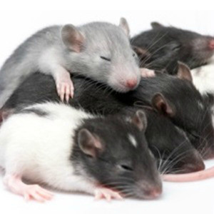 Rat Leptin receptor (Lepr) ELISA Kit