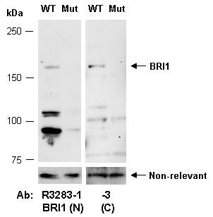 Anti-BRI1 (C)