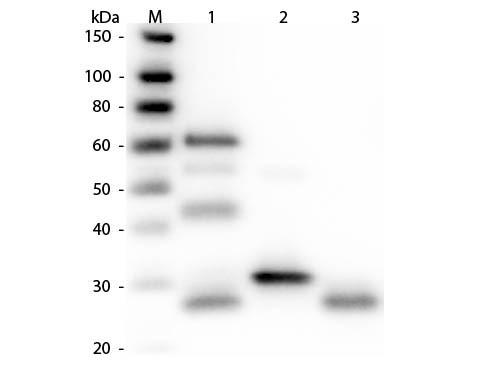 Anti-Chicken IgG (H&L) [Rabbit] HRP conjugated