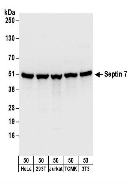 Anti-Septin 7